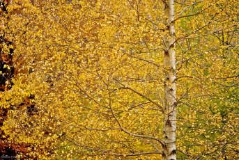 AL026 - Betulla in autunno
