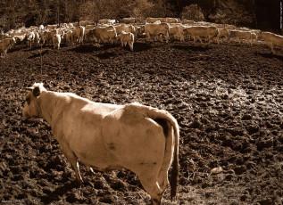 AL076 - Mucche durante la transumanza