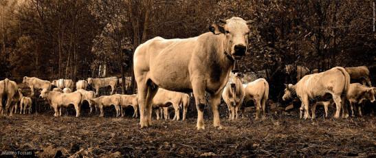 AL077 - Mucche durante  la transumanza