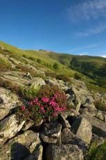 AL145 - Rododendro sotto il Pizzo di Ormea