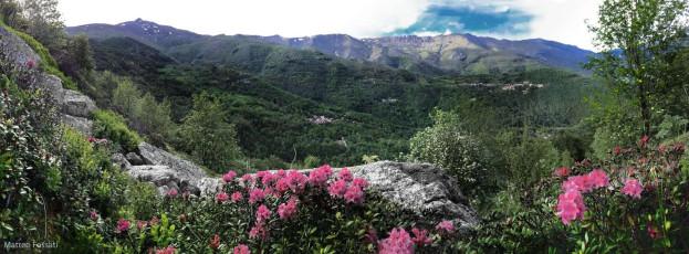 AL163 - a - Rododendri sulle Alpi Liguri