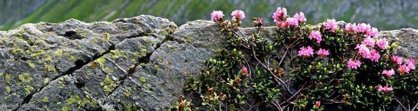 LP070 - Rododendri